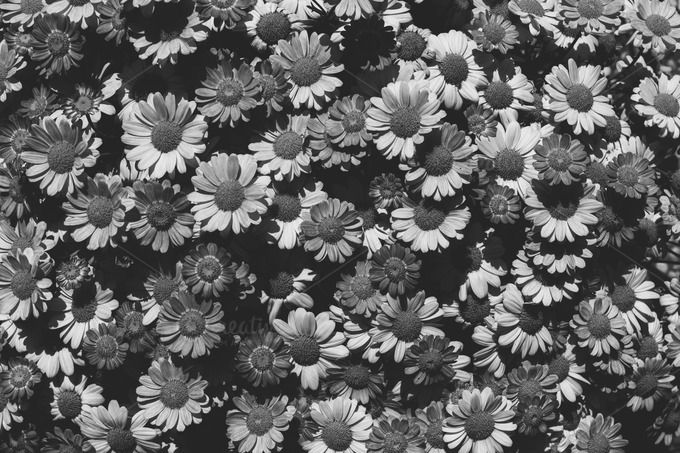 BW Daisies by Hombre-cz on Creative Market