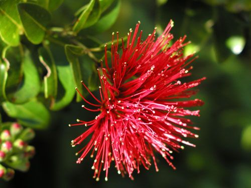 Flower Of The Island Hawai I Red Lehua From Ohia Tree