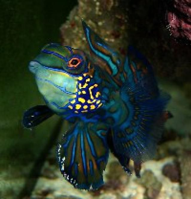 9 Reef Safe Fish for Saltwater Aquariums: Dragonettes & Mandarinfish