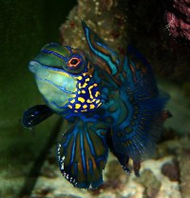9 Reef Safe Fish for Saltwater Aquariums: Dragonettes & Mandarinfish