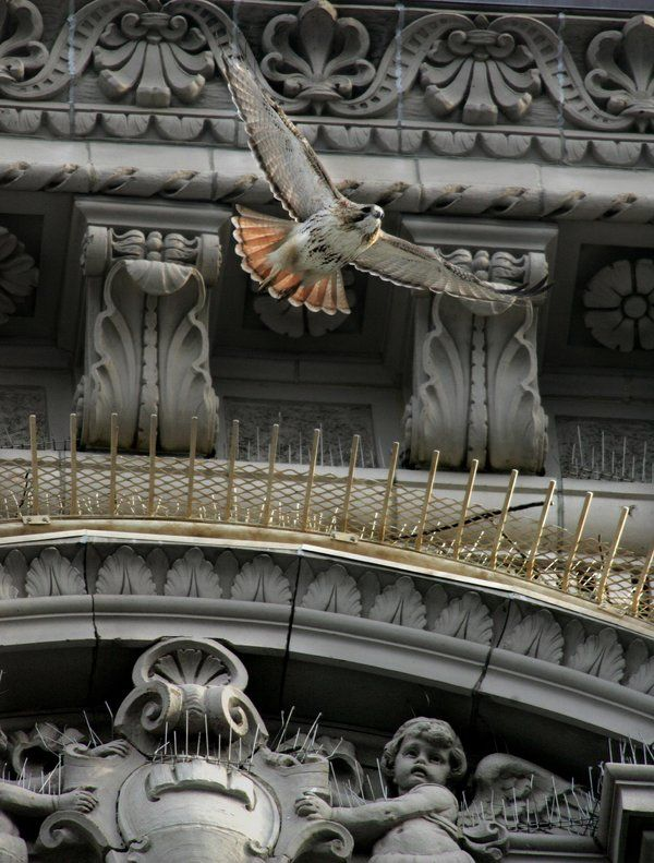 When Mary Tyler Moore Stood Up for Pale Male the Red-Tailed Hawk - NYTimes.com