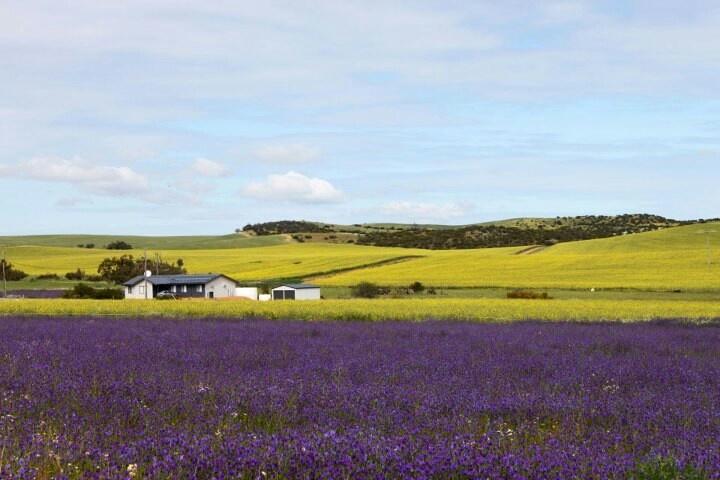 Mingenew the Midlands - Western Australia - September is spring and wildflowers bloom