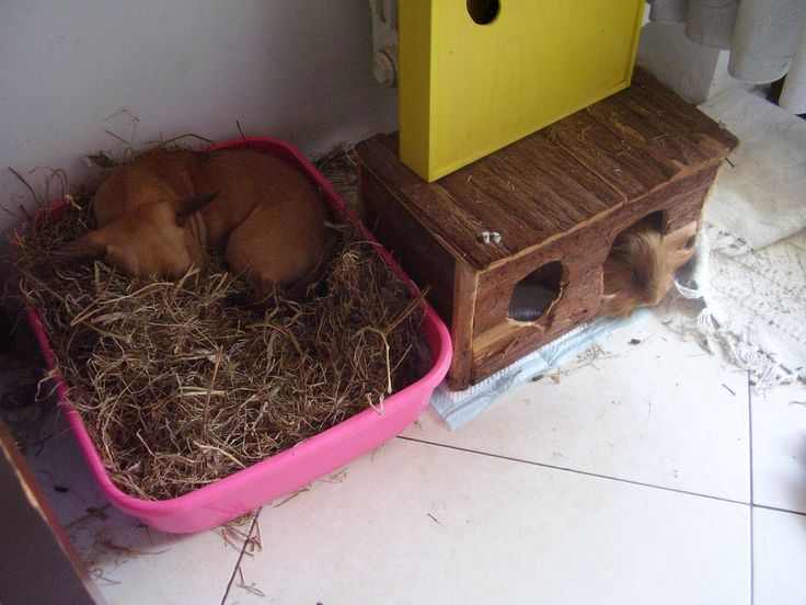 chihuahua & guinea pigs during that summer hot