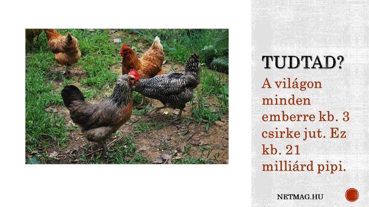 Érdekes tény a csirkéktől