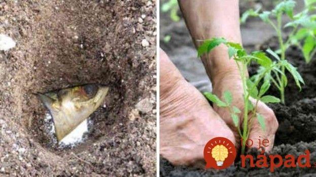 Záhradník prezradil, prečo k sadeniciam paradajok vždy pridáva aj rybie hlavy. Nejde o žiaden rituál, ale o geniálny trik!