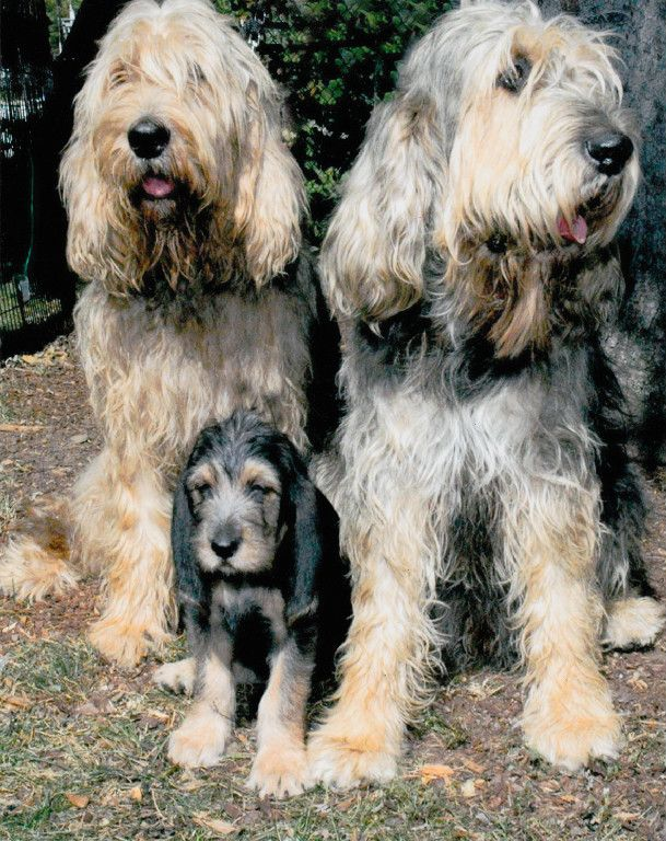 Two Otterhound dogs with their puppy.