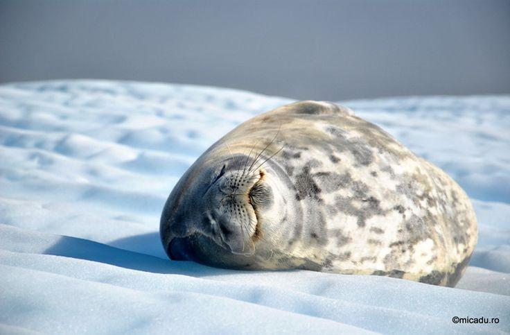 Lazy leopard seal in Antarctica