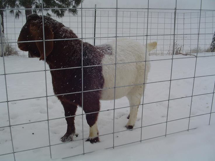 my commercial buck Boer goats, Computer repair, Goats