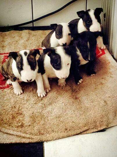 #Bull #Terrier #puppies