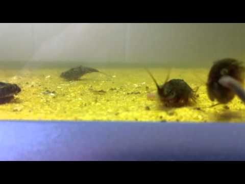 My triops Cancriformis eating earthworms - YouTube