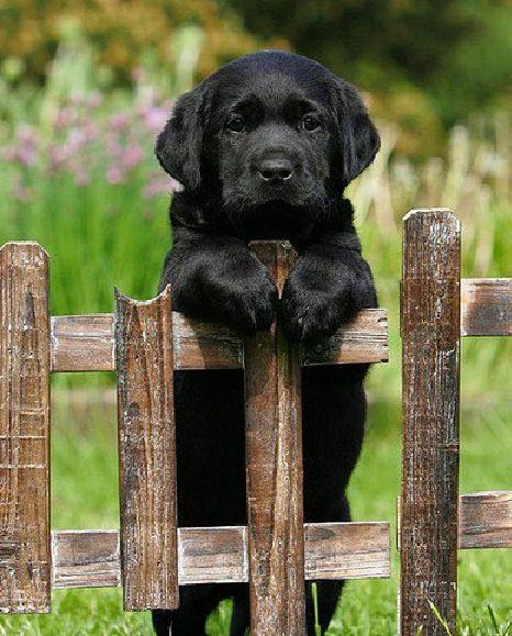 Amazing Lab Black Adorable Dog - 477b7888f503bd637f1adf351c8814ea  Best Photo Reference_904574  .jpg