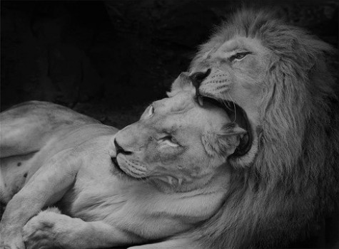 Starrcharmm|tumblr: King Of Beast, Big Cat, Panthera Leo, Beautiful Animal, Klaus Wie, White Lion, Lion In Love, Cubs, Photo