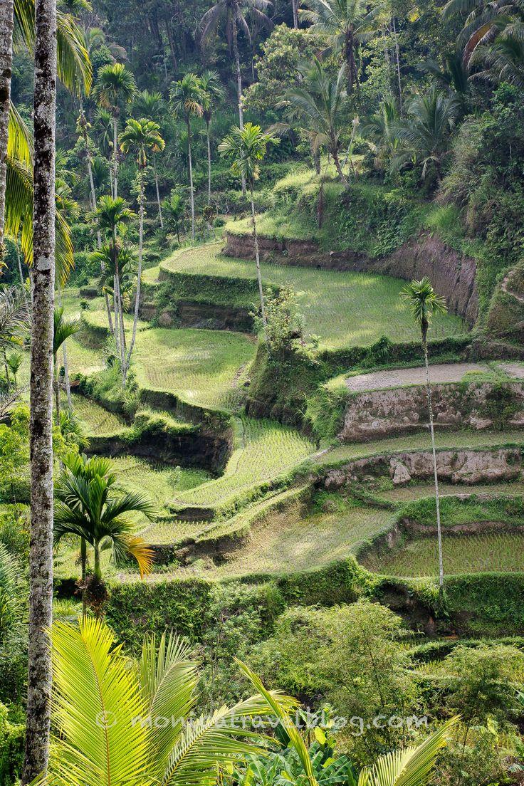 Risaie- Bali