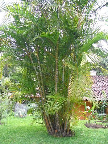 Areca Palm Palm Plant Tropical Garden Trees Shrubs