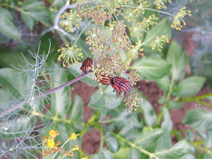 Kněžice pásovaná (Graphosoma lineatum) na zahradě