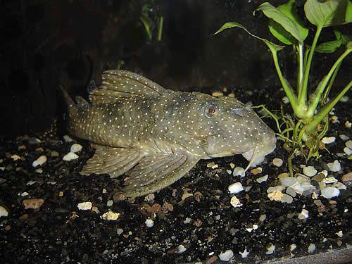 Catfish Algae Eaters For Freshwater Tank Angelicus Pleco Fish Pleco Fish Fish Catfish