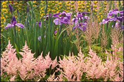 Astilbes and Iris
