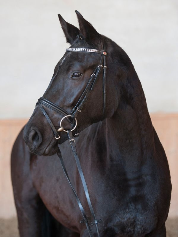 According to the written standard, the Austrian Warmblood, (Österreichisches Warmblut, ÖW),  is built on a mare base of old Austrian cavalry horses such as the Nonius, Furioso-North Star, Shagya and Gidran. Foreign warmblood sport horse bloodlines have been and will continue to be used to produce a horse more suitable for modern-day dressage and show jumping. Refinement comes from Thoroughbred, Shagya Arabian and Trakehner blood. Img: Austrian warmblood mare Enya W
