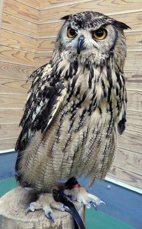 フクロウの画像 p1_34