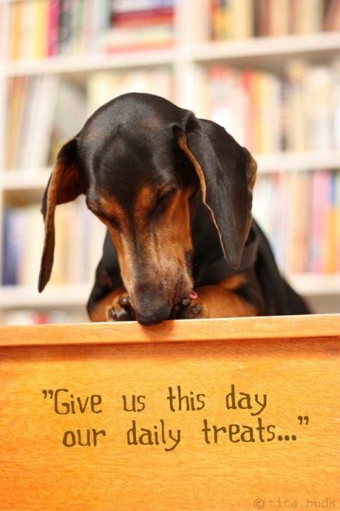 Doggie Prayer: Weenie Dogs, God Love, Pet, Mornings Prayer, Daily Prayer, Daily Treats, Weiner Dogs, Dogs Prayer, Doxi Praying