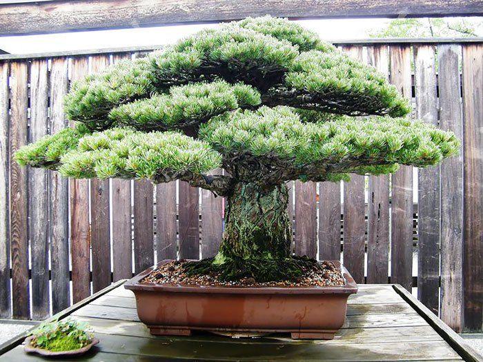 3 Este bonsai japonés tiene 390 años, sobrevivió a la bomba de Hiroshima y fíjate qué forma tan curiosa tiene …
