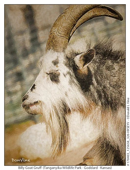"""The BILLY GOAT CURSE was cast upon the Chicago Cubs when tavern owner, Bill Goat's pet goat was not allowed into a 1945 game because it stank. So Bill declared """"The Cubs ain't gonna win no more!."""" The rest, as they say, is history.  donvine.com"""