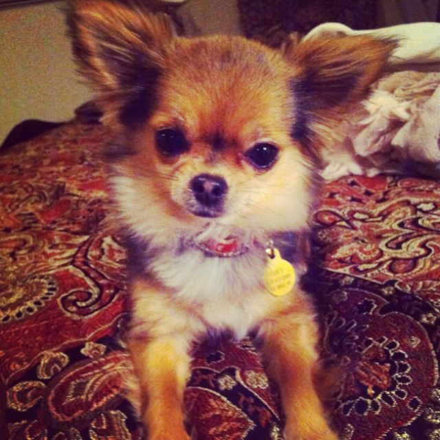 Cutest chihuahua EVER.