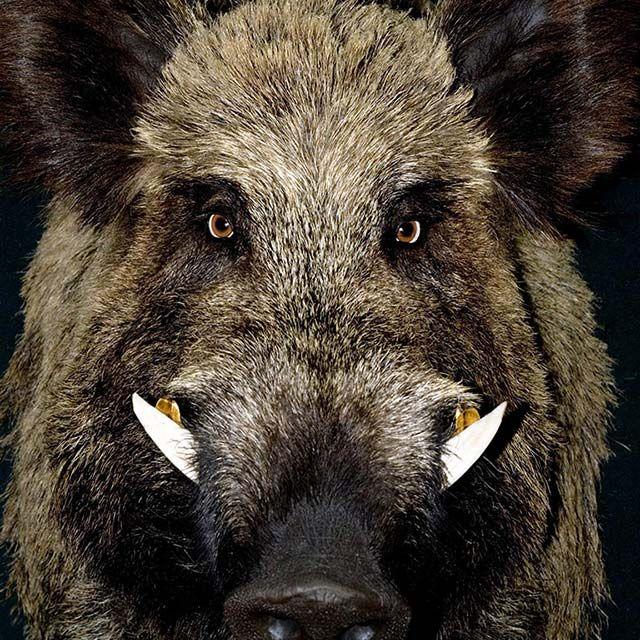 красивые крупное фото дикого кабана в фас и профиль: 10 тыс изображений найдено в Яндекс.Картинк… | Охота на кабана, Сельскохозяйственные животные, Охотничьи собаки