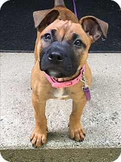Sharon, CT - Boxer/American Staffordshire Terrier Mix. Meet Abby, a puppy for adoption. http://www.adoptapet.com/pet/18832586-sharon-connecticut-boxer-mix