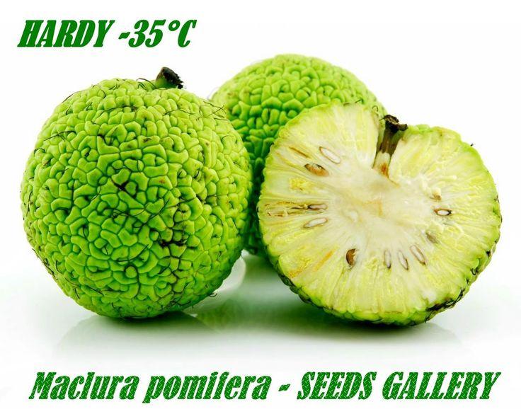 Milchorangenbaum - Osagedorn Samen (Maclura pomifera)