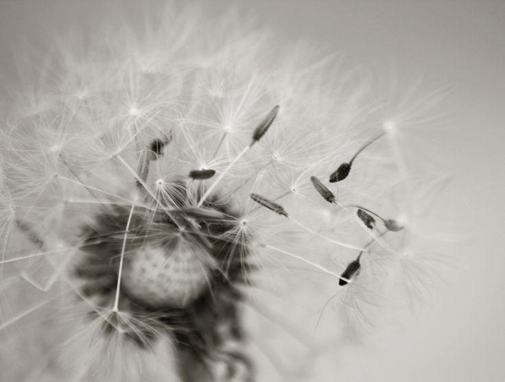 Dandelion - black & white