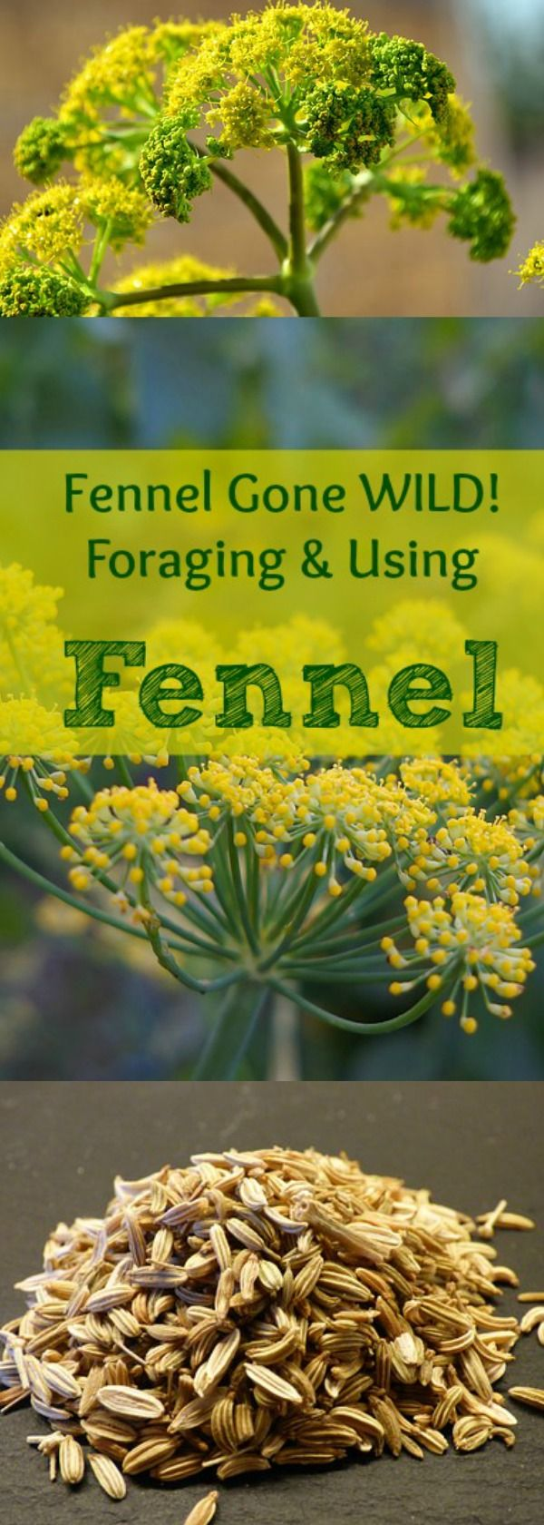 Have you ever wanted to go out there and forage for your own Fennel? This herbs smells absolutely DELICIOUS...and there are tons of uses for it too! Find out all!