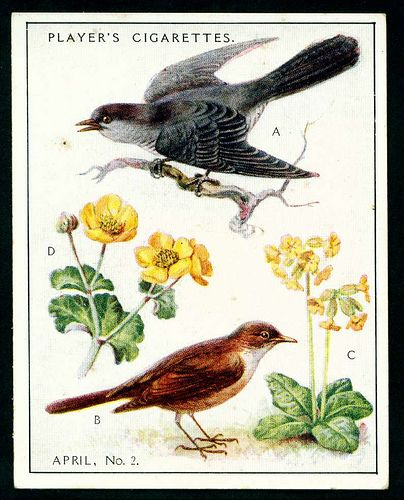 "Player's Cigarettes  ""A Nature Calendar"" (series of 24 large cards issued in 1930) #8 April (2)"