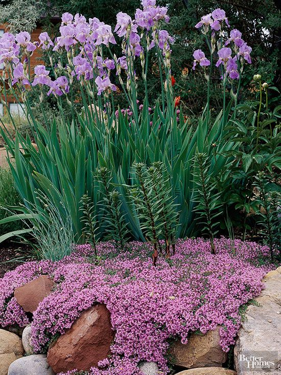 Soapwort is prized for its compact, rough-and-tumble nature and pretty pink, red, or white flowers. Use it along your garden path or tuck it into rock gardens or walls. Soapwort does best in well-drained, slightly alkaline soil. It's drought- and deer-tolerant.