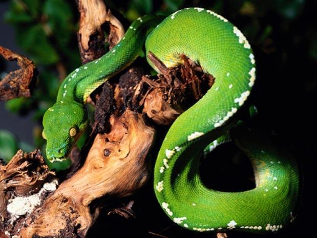 A píton-verde-arborícola está em risco de extinção graças à caça clandestina e à destruição de seu habitat  Foto: Getty Images