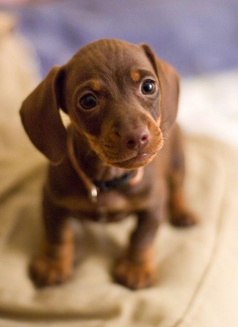 Miniature Dachshund Puppy.. i want, i want, i want. <3 <3 <3 <3 <3