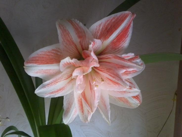 Fiore di un'altra mia pianta.