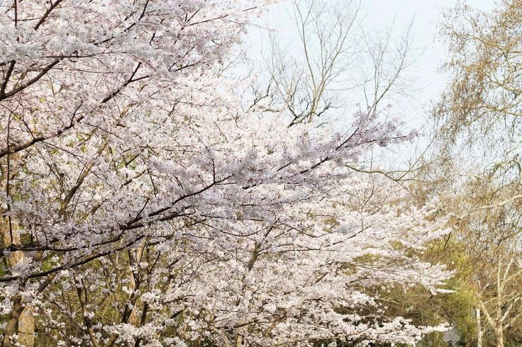 Rose Tinted Illustration: SAKURA CHERRY BLOSSOM TREES // AT WUHAN UNIVERSITY - CHINA