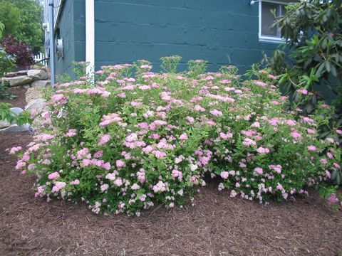 17 images about landscaping ideas on pinterest soil for Low maintenance foundation shrubs