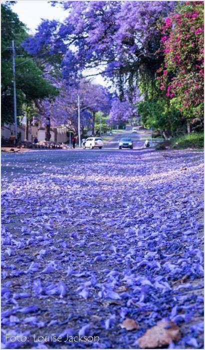 Jacaranda trees, Pretoria