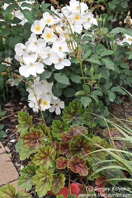 Сам автор розы Kew Gardens, Дэвид Остин (David Austin), не считает ее настоящей английской розой и поэтому не включает ее в подраздел Английских мускусных роз, хотя указывает, что родственную связь она с ними имеет