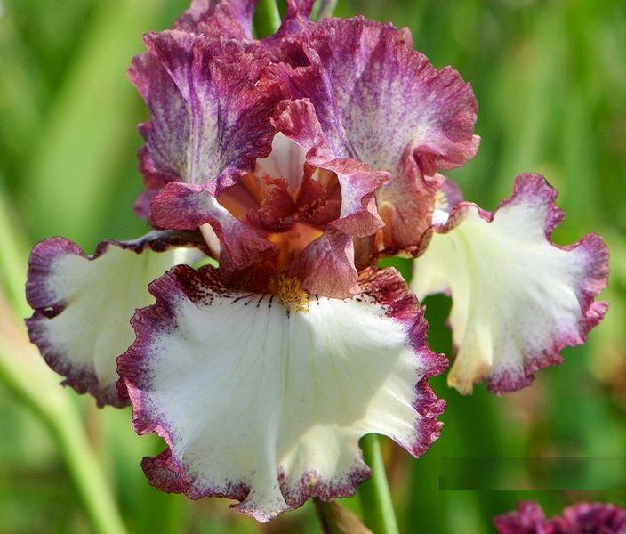 TB Iris germanica 'Silkirim' (Blyth, 1987)