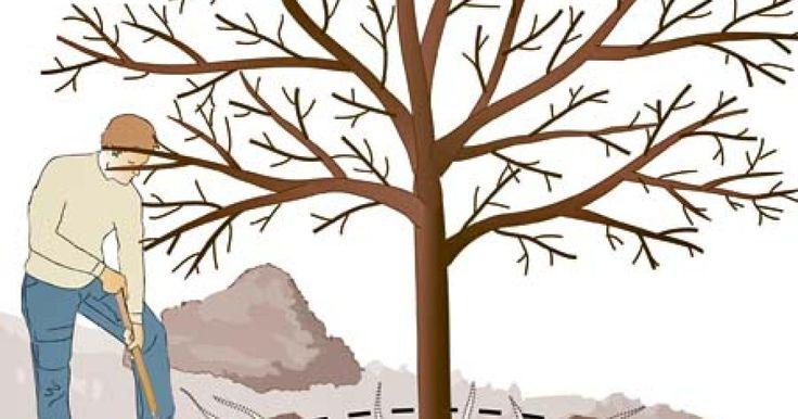 Nicht nur ein Rückschnitt der Krone steigert die Erträge und Fruchtqualität alter Obstbäume. Auch das Stutzen der Wurzeln kann Wunder wirken.
