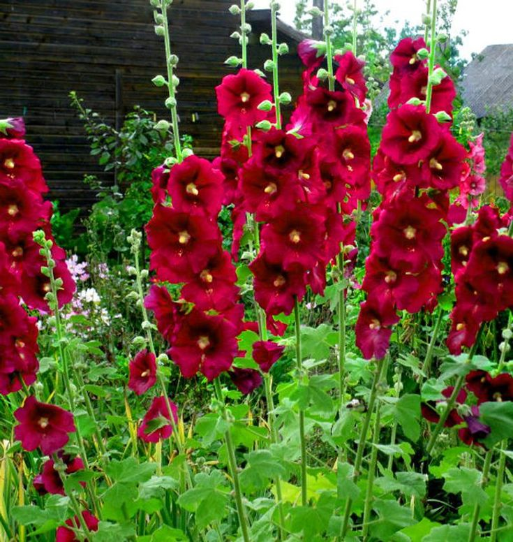 Burgundy red hollyhock alcea rosea flower perennial 25