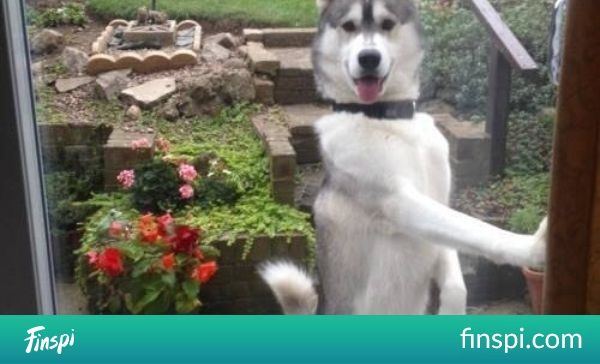 23 Dogs Who& Out-Dogged Themselves #funny #dogs #husky #doors #dr. who #sliders #the doors #doggies #who funny