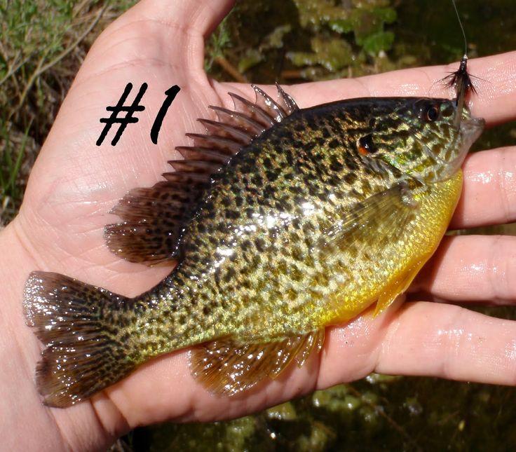 colorado fish species google search colorado fish that