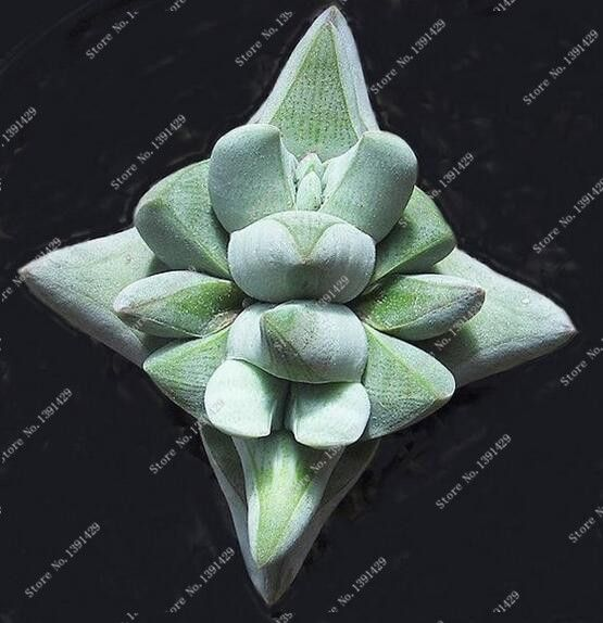 200 unids 24 Tipos Lithops semillas de Piedra Viva Flor de Cactus Suculentas Raras Semillas de Cactus Planta Carnosa Bonsai Colorido Fácil Crecer jardín en Bonsais de Hogar y Jardín en AliExpress.com | Alibaba Group