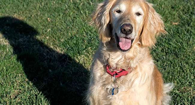This is Kayley - 7 yrs. She is spayed, current on vaccinations, potty trained, walks well on leash & good with dogs & kids. No cats. Kayley takes a med daily for seizures which are under control. Homeward Bound, CA. http://www.homewardboundgoldens.org/available-dogs/available-dogs/kayley.html