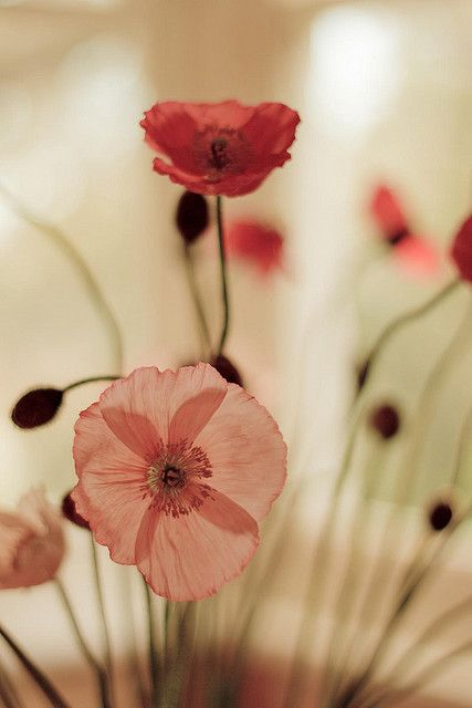 : Flowers Gardens, Gorgeous Flowers, Inspiration, Color, Wild Things, Flowers Power, Beautiful Flowers, Poppies, Photo