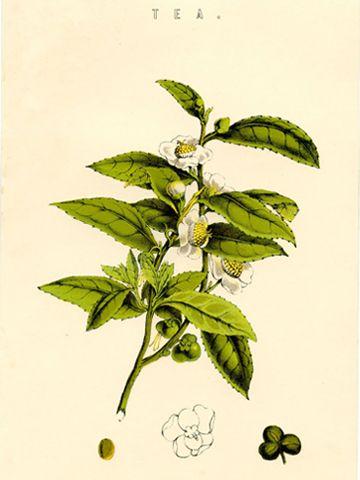 pianta del the (camelia sinensis)